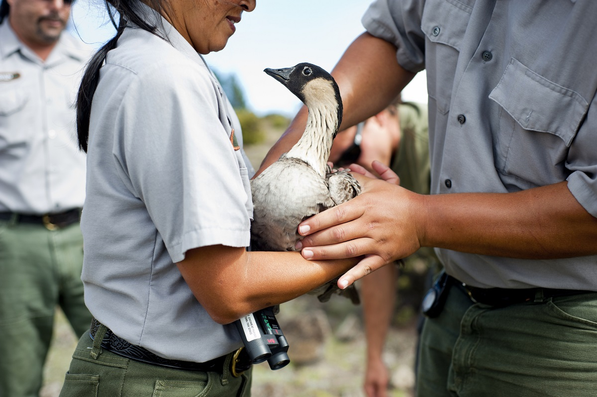 Tagging a young nene goose