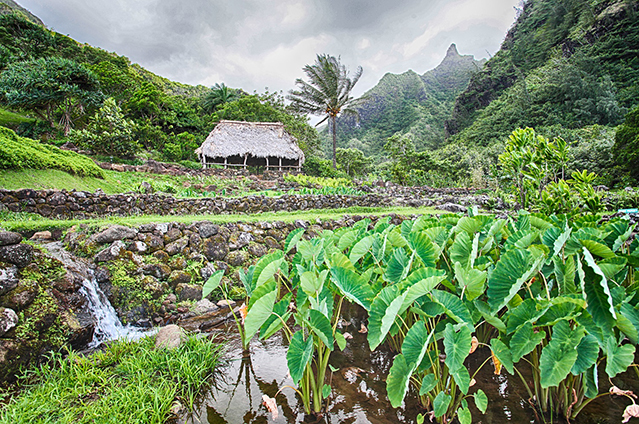 taro field and hut