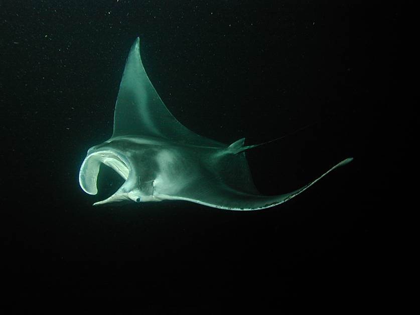 Manta ray at night