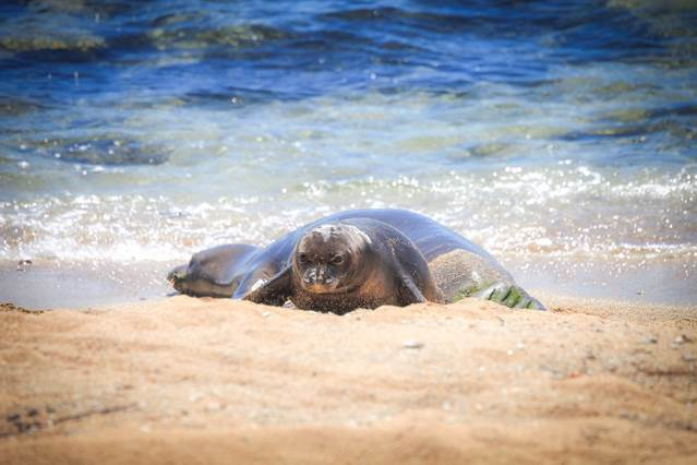 Baby monk seal