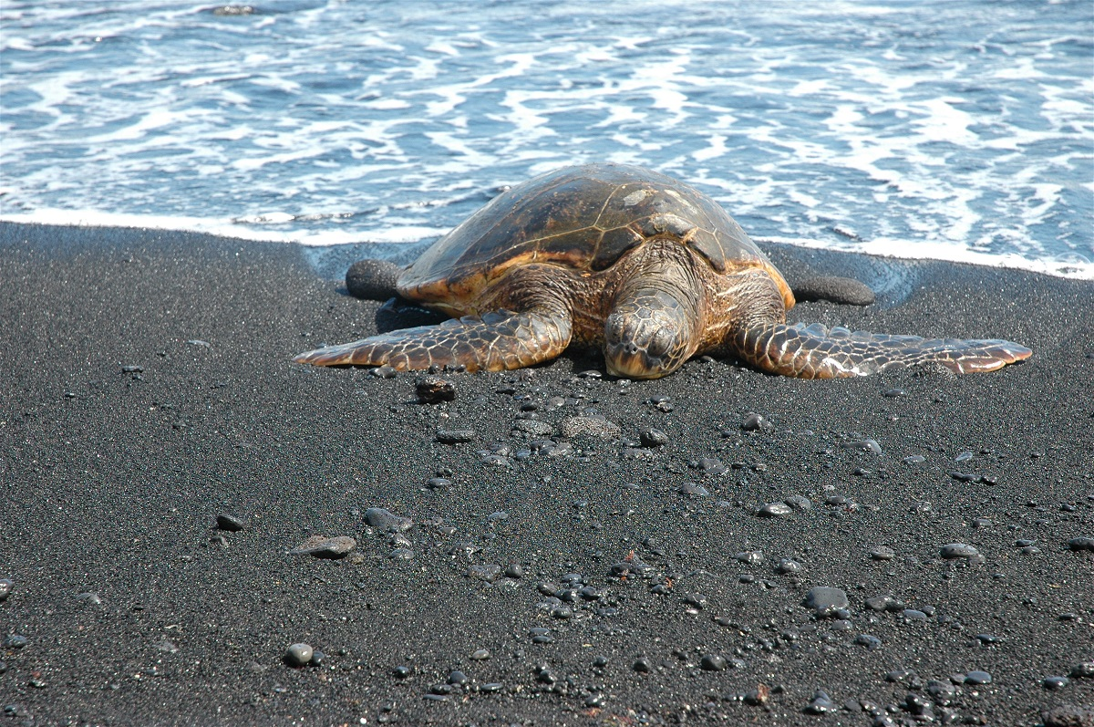 Sea turtle on black sand