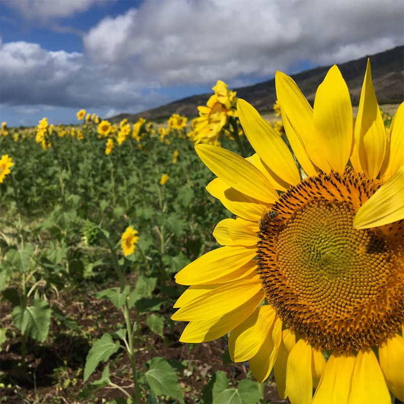 Maui Tropical Plantation's sunflower fields